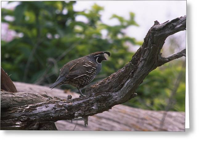 California Quail Greeting Cards - California Quail  Greeting Card by Soli Deo Gloria Wilderness And Wildlife Photography