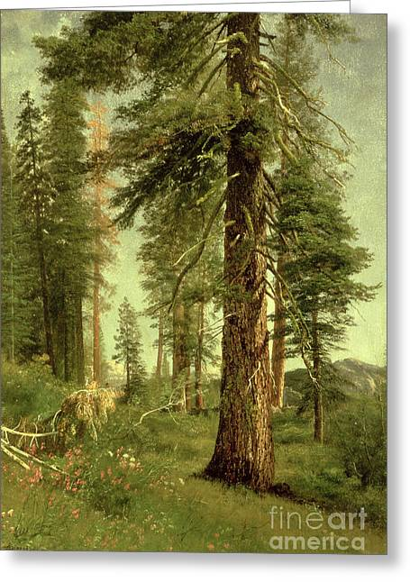 Sequoia Greeting Cards - California Redwoods Greeting Card by Albert Bierstadt