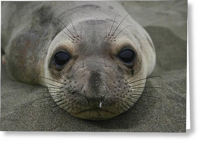 Best Sellers -  - California Sea Lions Greeting Cards - California Sea Lion Greeting Card by Hans Jankowski