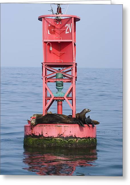 California Sea Lions Greeting Cards - California Sea Lions Zalophus Greeting Card by Rich Reid