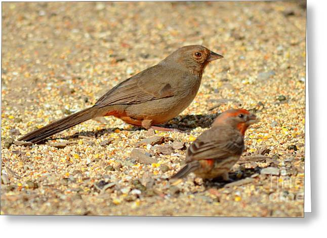 Brown Towhee Greeting Cards - California Towhee with House Finch Greeting Card by  iunona Harris