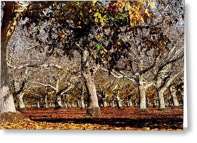 California Walnut Orchard Greeting Card by Pamela Patch