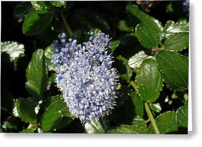 Californian Greeting Cards - Californian Lilac Greeting Card by Anthony Mears