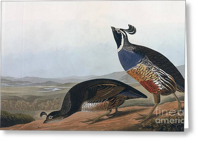 Wild Life Drawings Greeting Cards - Californian Partridge Greeting Card by John James Audubon