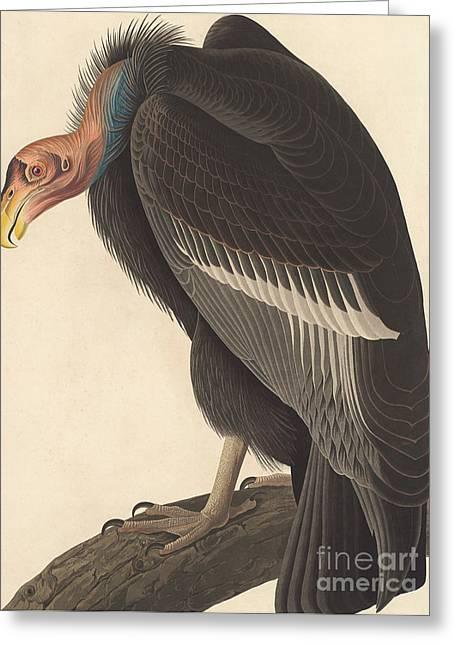 Californian Vulture Greeting Card by John James Audubon