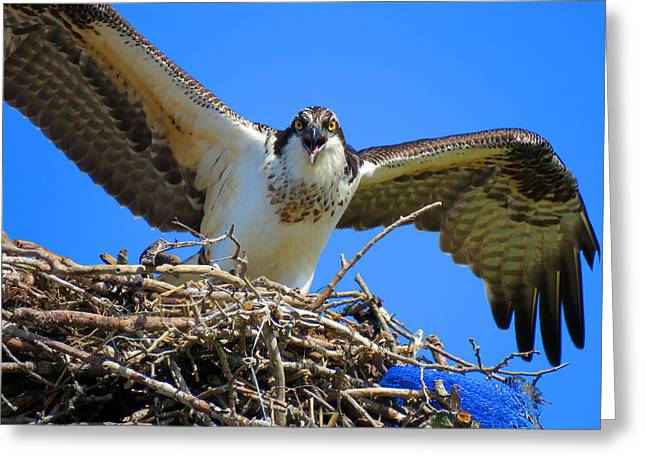 East Dennis Greeting Cards - Call of the Osprey Greeting Card by Dianne Cowen
