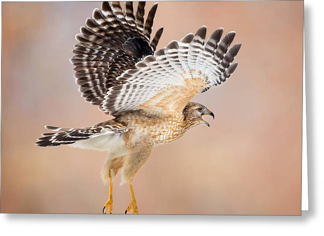 Raptor In Flight Greeting Cards - Call Of The Wild Square Greeting Card by Bill Wakeley