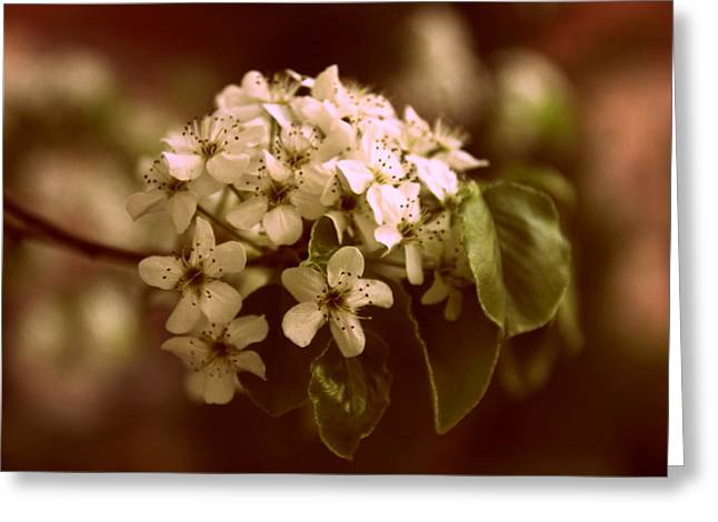 Pear Tree Greeting Cards - Callery Pear Blossoms Greeting Card by Jessica Jenney