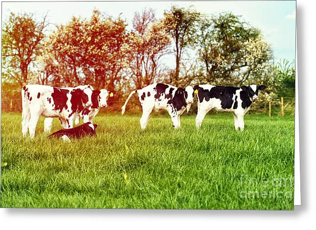 Cattle Farming Greeting Cards - Calves In Spring Field Greeting Card by Amanda And Christopher Elwell
