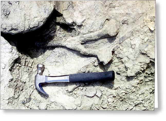 Chevron Greeting Cards - Camarasaurus Tail Bone Greeting Card by Ted Kinsman