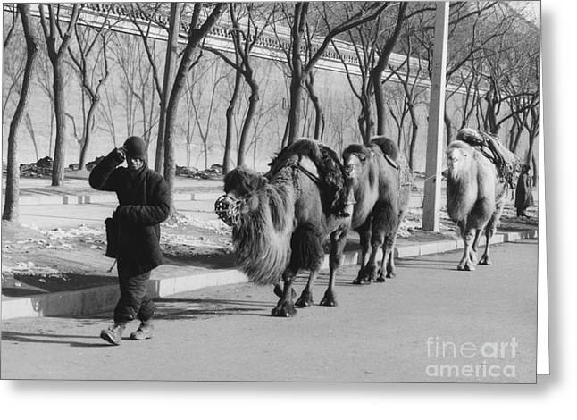 Camel Caravan, China 1957 Greeting Card by The Phillip Harrington Collection