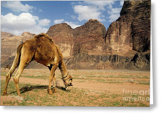 Desert Greeting Cards - Camel grazing in a desert landscape Greeting Card by Sami Sarkis