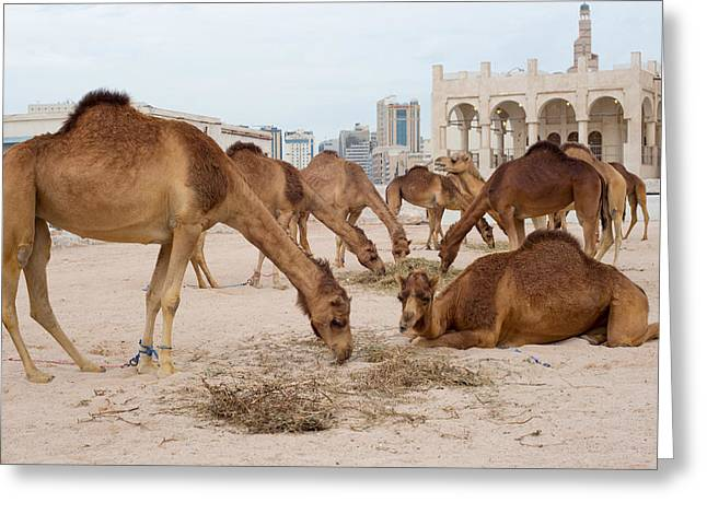 Camel Lineup Greeting Card by Paul Cowan