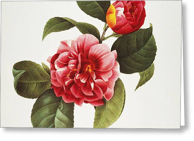 CAMELLIA, 1833 Greeting Card by Granger