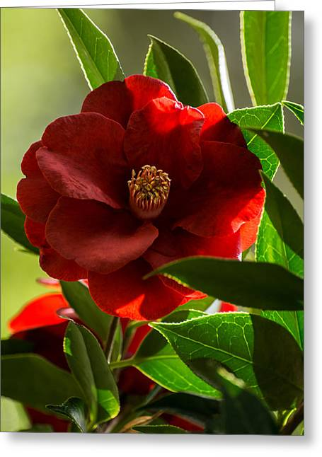 Royal Art Greeting Cards - Camellia Royal Velvet Greeting Card by Zina Stromberg