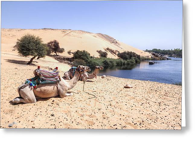 Nils Greeting Cards - camels in Egypt Greeting Card by Joana Kruse