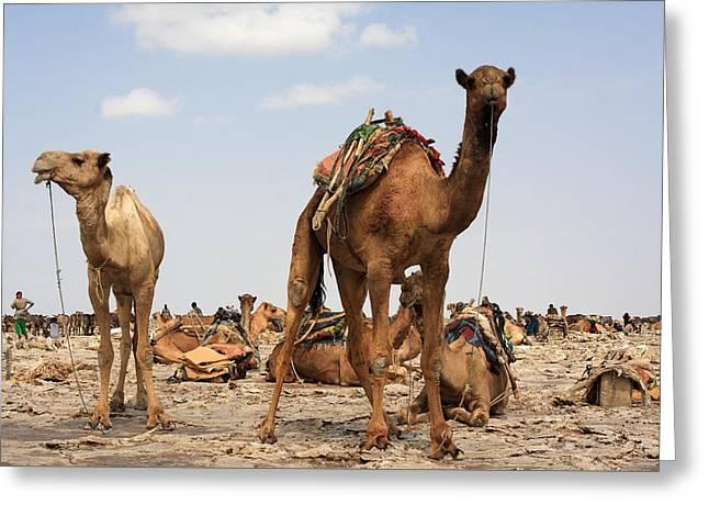 Camels Of The Afar  Greeting Card by Aidan Moran