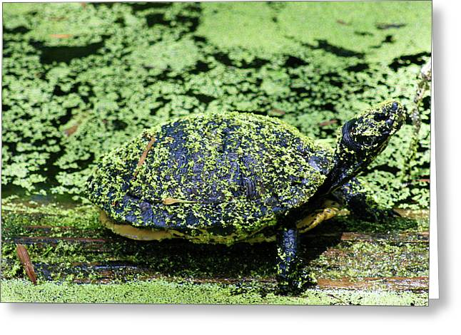 Alga Greeting Cards - Camouflage Turtle Greeting Card by Robert Wilder Jr