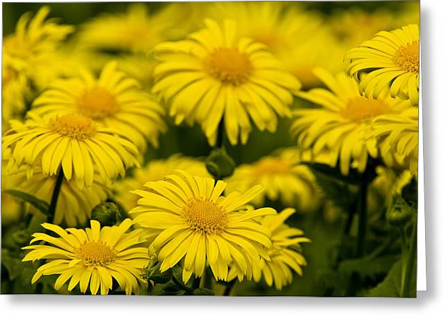 Flowers Greeting Cards - Camphorweed Greeting Card by Michael Cummings