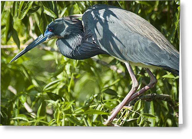 Egretta Tricolor Greeting Cards - Can You See Me Now Greeting Card by Carolyn Marshall
