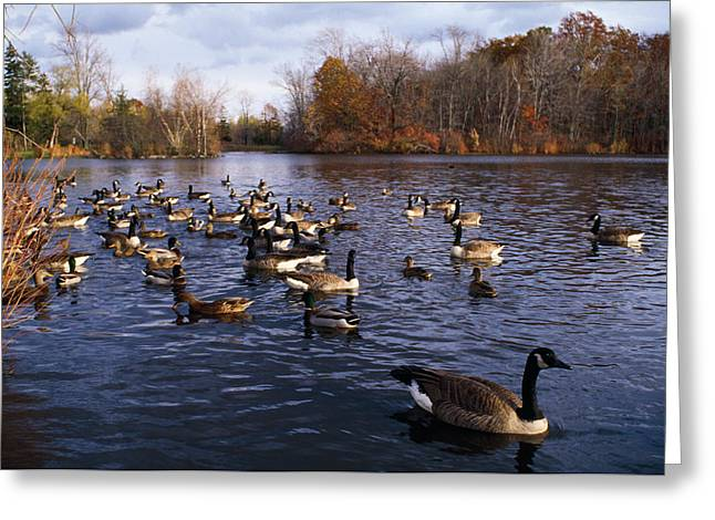 Gathering Greeting Cards - Canada Geese Branta Canadensis Greeting Card by Panoramic Images