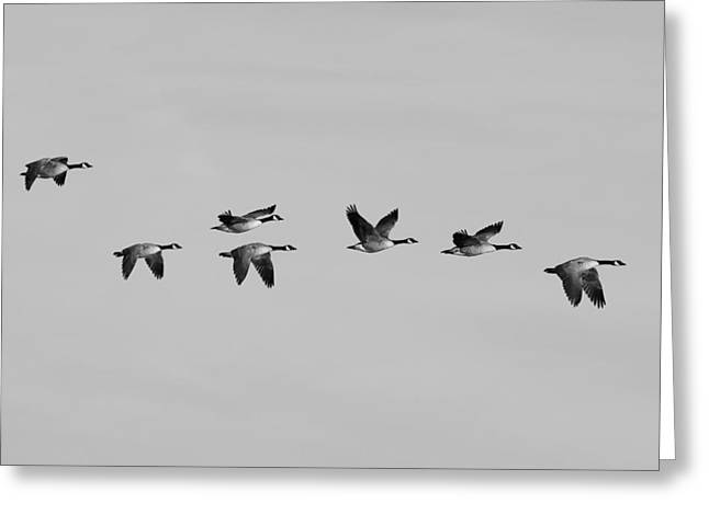 Hunting Bird Greeting Cards - Canada Geese in flight - Black and white - Monochrome Greeting Card by Ram Vasudev