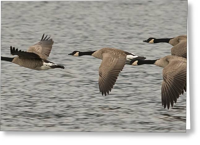 Canada Geese In Flight Greeting Card by Loree Johnson