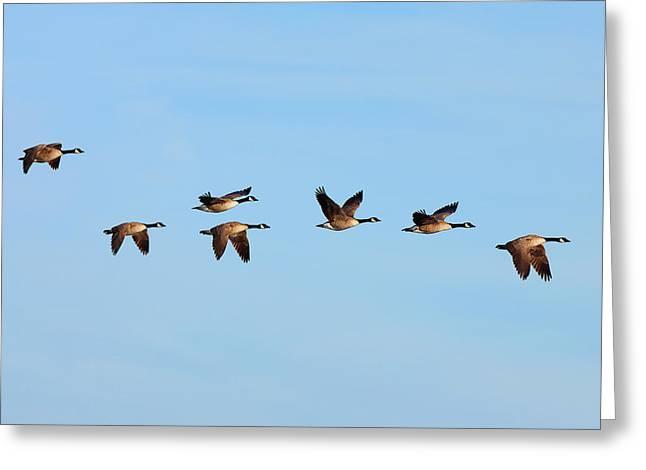 Hunting Bird Greeting Cards - Canada Geese in flight Greeting Card by Ram Vasudev
