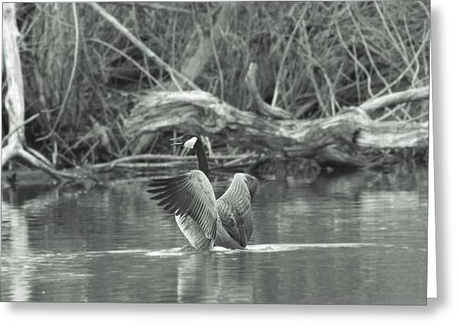 Geese Photographs Greeting Cards - Canada Goose Greeting Card by Dan Sproul