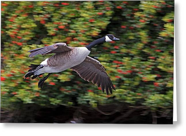 Flying Animal Greeting Cards - Canada Goose Landing Greeting Card by Randall Ingalls