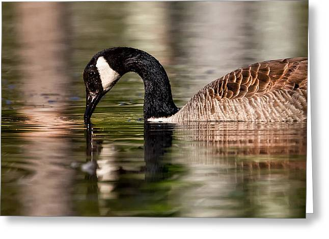 Canada Goose Reflections Greeting Card by Bill Wakeley