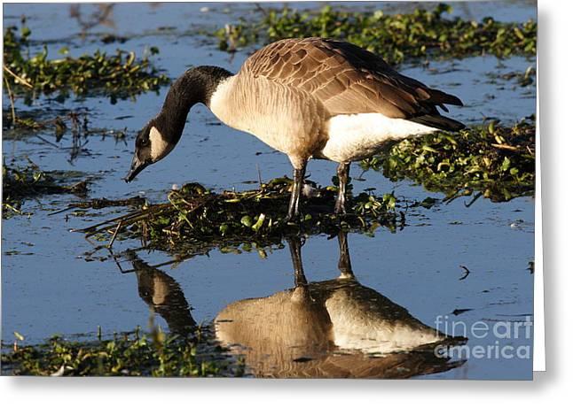 Morgan Hill Greeting Cards - Canada Goose Reflections Greeting Card by Morgan Hill