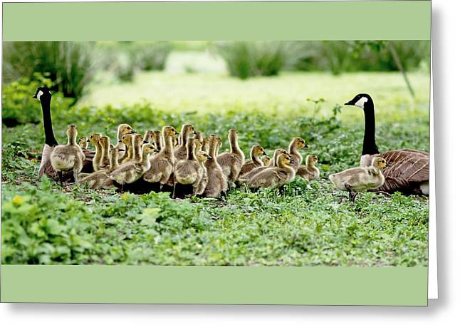 Mother Goose Greeting Cards - Canada Gosling Daycare Greeting Card by Rona Black