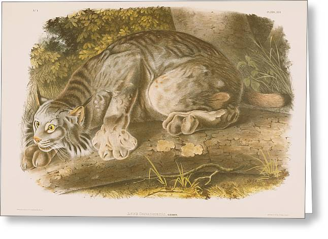 Wild Life Drawings Greeting Cards - Canada Lynx Greeting Card by John James Audubon