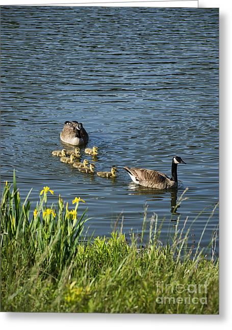 Geese Greeting Cards - Canadian Geese and Goslings Greeting Card by John Greim