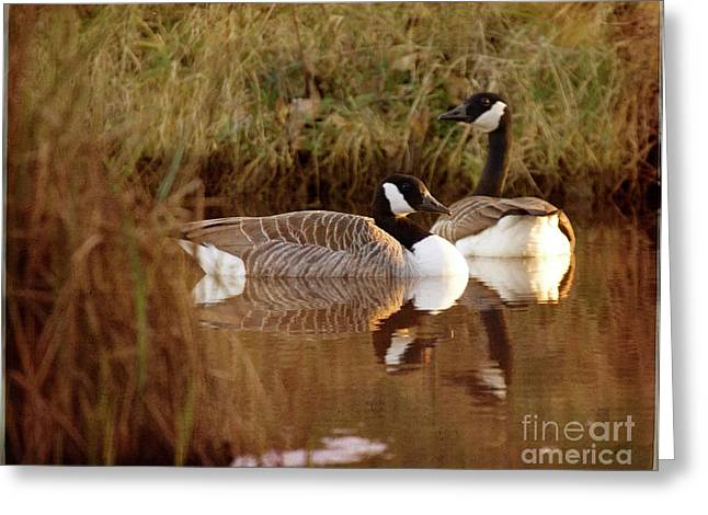 Wild Goose Greeting Cards - Canadian Geese Greeting Card by Angel  Tarantella