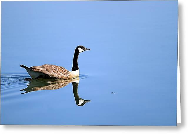 Popular Goose Images Greeting Cards - Canadian geese at lake Greeting Card by Geraldine Scull