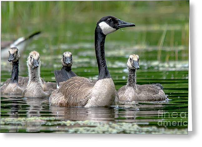 Mother Goose Greeting Cards - Canadian Geese Greeting Card by Cheryl Baxter
