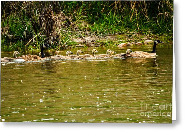 Ducklings Greeting Cards - Canadian Geese Family Greeting Card by Robert Bales