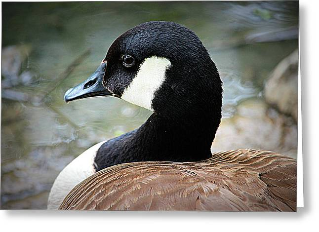 Canadian Pyrography Greeting Cards - Canadian Goose Calm Greeting Card by Buffy Butler