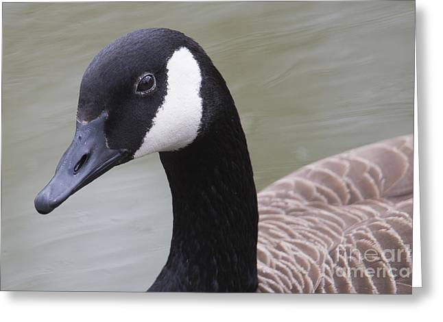 Canadian Goose Greeting Card by Twenty Two North Photography