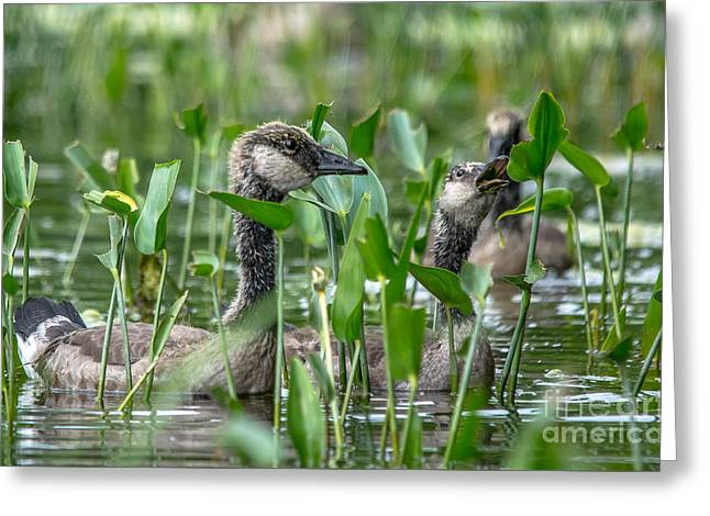 Mother Goose Greeting Cards - Canadian Goose Youngsters Greeting Card by Cheryl Baxter