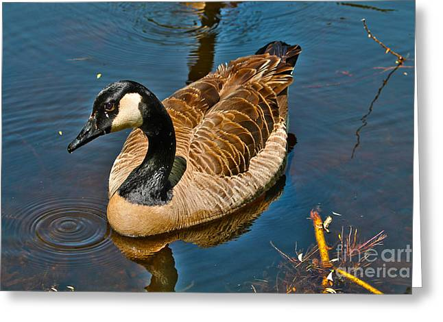 Reflection In Water Greeting Cards - Canadian male goose posing Greeting Card by Claudia Mottram