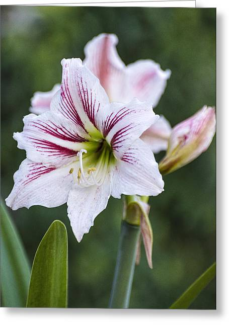 Spring Bulbs Greeting Cards - Candy Cane Amaryllis Greeting Card by Rob Nelms