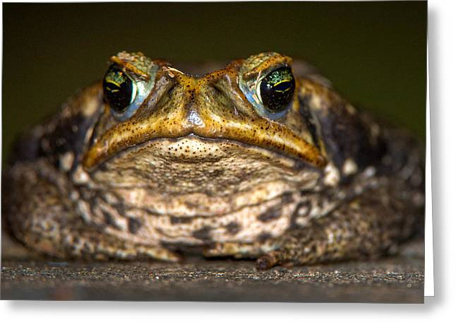 Cane Toad Rhinella Marina, Pantanal Greeting Card by Panoramic Images