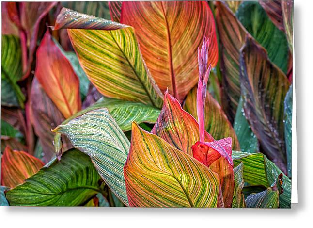 Canna Greeting Card by James Barber
