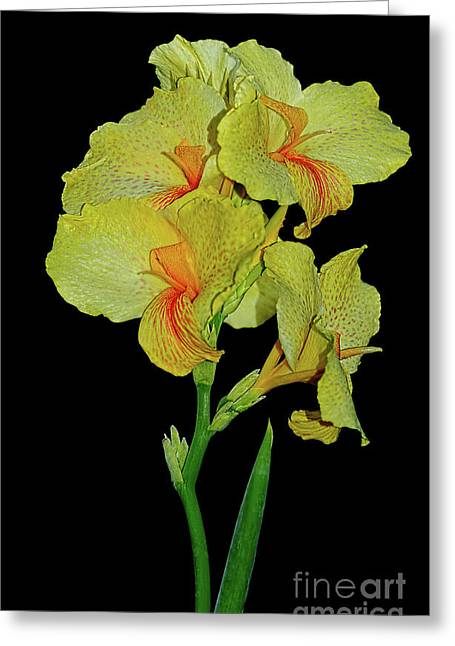Canna Lily Greeting Cards - Canna Lily Be So Pretty? Greeting Card by Kaye Menner