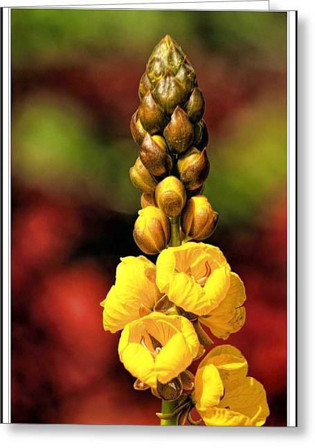 Popular Art Greeting Cards - CASSIA didymobotrya Popcorn Bush Greeting Card by Geraldine Scull