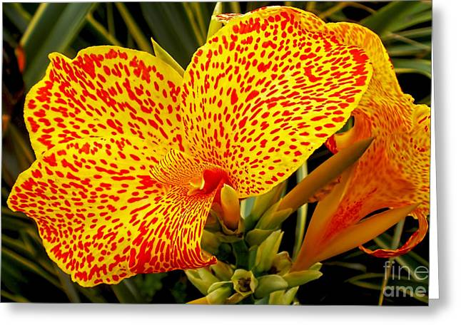 Canna Lily Greeting Card by Kaye Menner