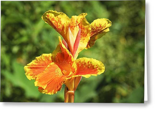 Canna Greeting Cards - Canna Lily Greeting Card by Kenneth Albin